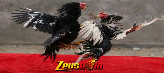 Tips Menang Telak Sebelum Bertarung Di Arena Sabung Ayam