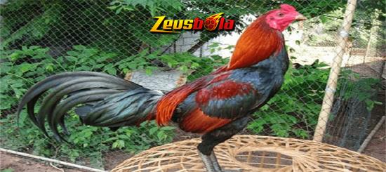 Keunggulan dan Ciri Ayam Birma Petarung Asli
