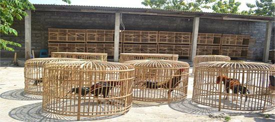 Kriteria dan Jenis Kandang Ayam Bangkok Petarung