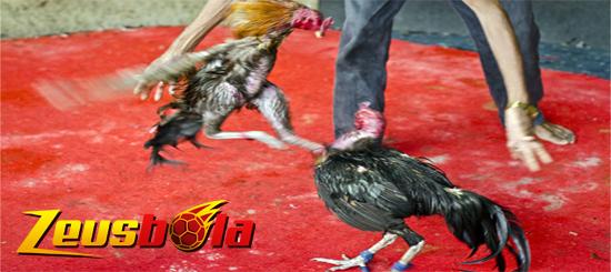 Ketahui Bagian Tubuh Sensitif Ayam Petarung