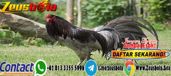 Taruhan Sabung Ayam S128