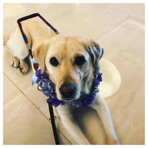 Frances is a beautiful yellow lab who guides Holly Bonner her handler