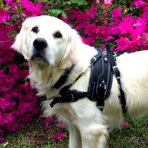 BAH on RANI - Balance Assistance Harness™ for service dogs