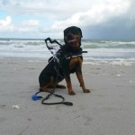 Tasha ROCA in MSH on beach - Service Dogs in Action