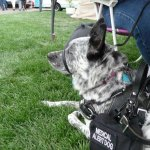 blizzard - Service Dogs in Action