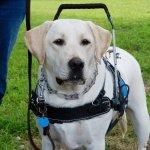 comet j reynolds - Service Dogs in Action