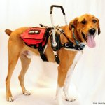 crash paws giving independence - Service Dogs in Action