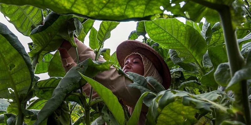 petani tembakau