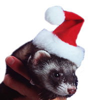 Carla in a Ferret Santa Hat