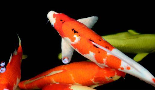 「錦鯉を日本の国魚に」運動高まる!日本の国花・国獣の決め方は?