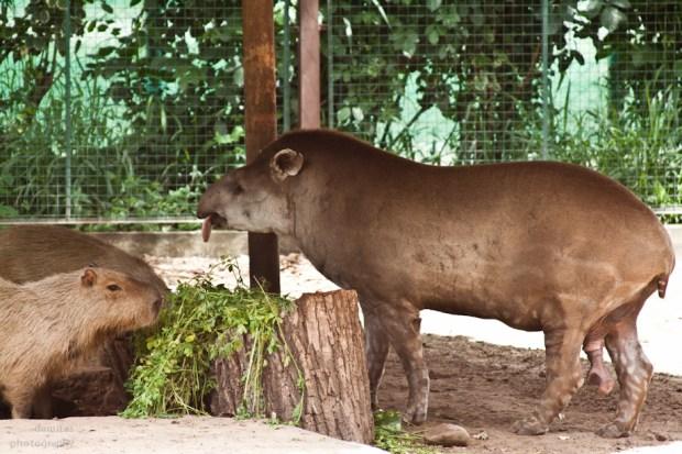 tapir by boliviainmyeyes