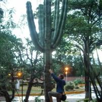 Big cacti
