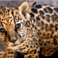 Chinese smugglers responsible for spike in jaguar killings in Bolivia, report claims
