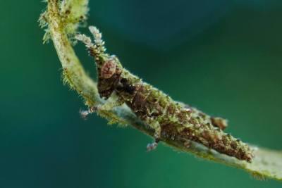 Løvgræshoppe