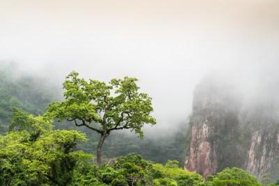 træ på grænsen mellem tåge,- og bjergskov