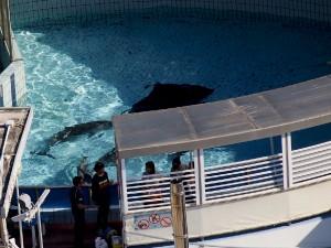 Sequestrati per maltrattamenti quattro delfini: quello di Rimini è il primo caso in Europa
