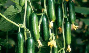 Cucumber 'Cucino'