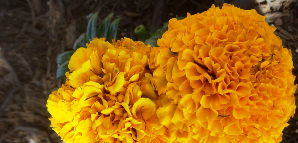 Get a Look at New Flowers for 2014      Bombay Outdoors new flowers for 2014  flower variety  full sun flowers  Mexican marigold   African