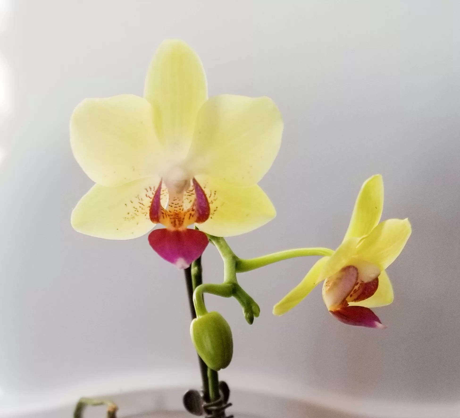 Live Plant Dwarf Orchid Flowering Mini Phalaenopsis Orchid in 3 Net Pot