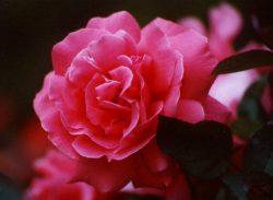 Ginger Rogers Rose