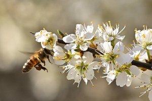 honey bee, flying, flowers