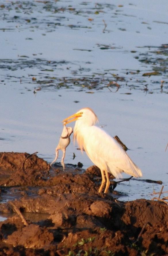 Egret with frog dinner