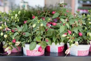 Fushia Plants