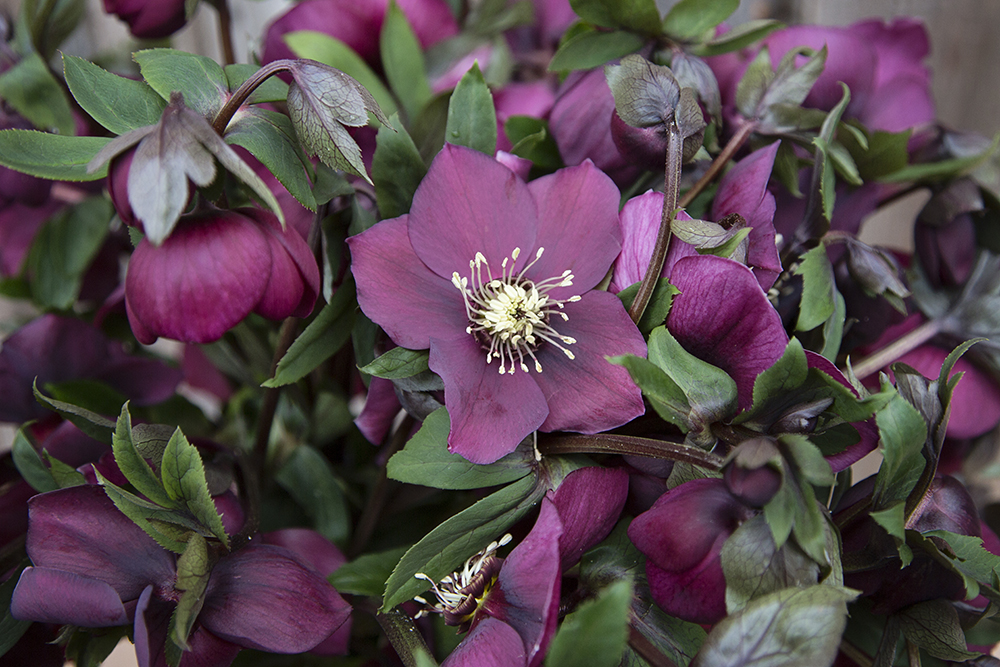 Helleborus Queens Red