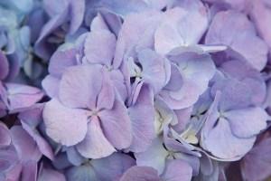 Hydrangea Candy Floss Lilac