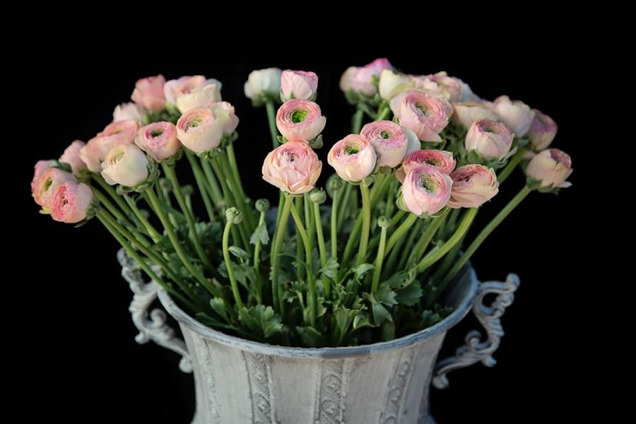 Ranunculus Pastel Pink