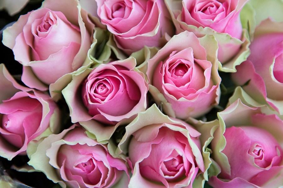 Rose Belle Rose