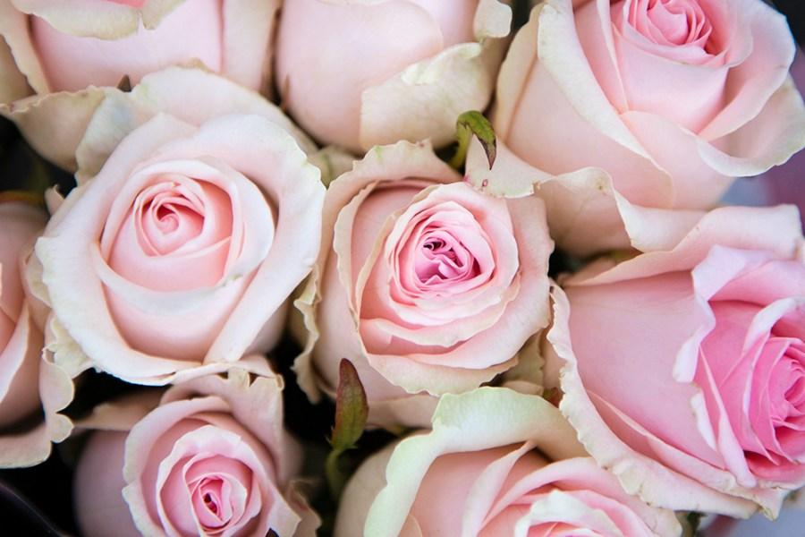 Rose Dolomiti