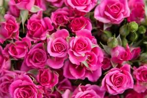 Spray Rose Lianne