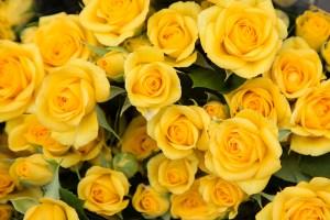 Spray Rose Yellow Babe