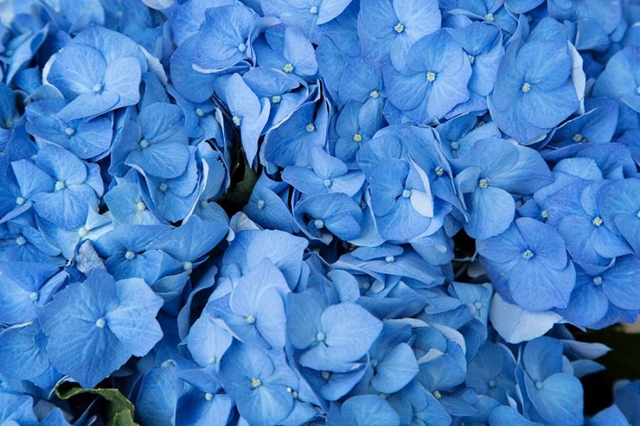 Hydrangea Bela Blue