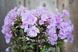 Phlox Diamond Soft Pink
