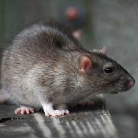 Rodent exterminators in London