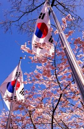 Korea Cherry Blossoms Nikon D7100 50 mm ISO 100 f/5 1/100