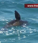 Scuba-divers-rush-to-safety-after-playful-seal-is-mistaken-as-shark-at-Bondi-Beach