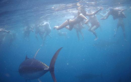 Tuna Tour Ametlla | Zwemmen met tonijnen | zwemmen met blauwvintonijen |