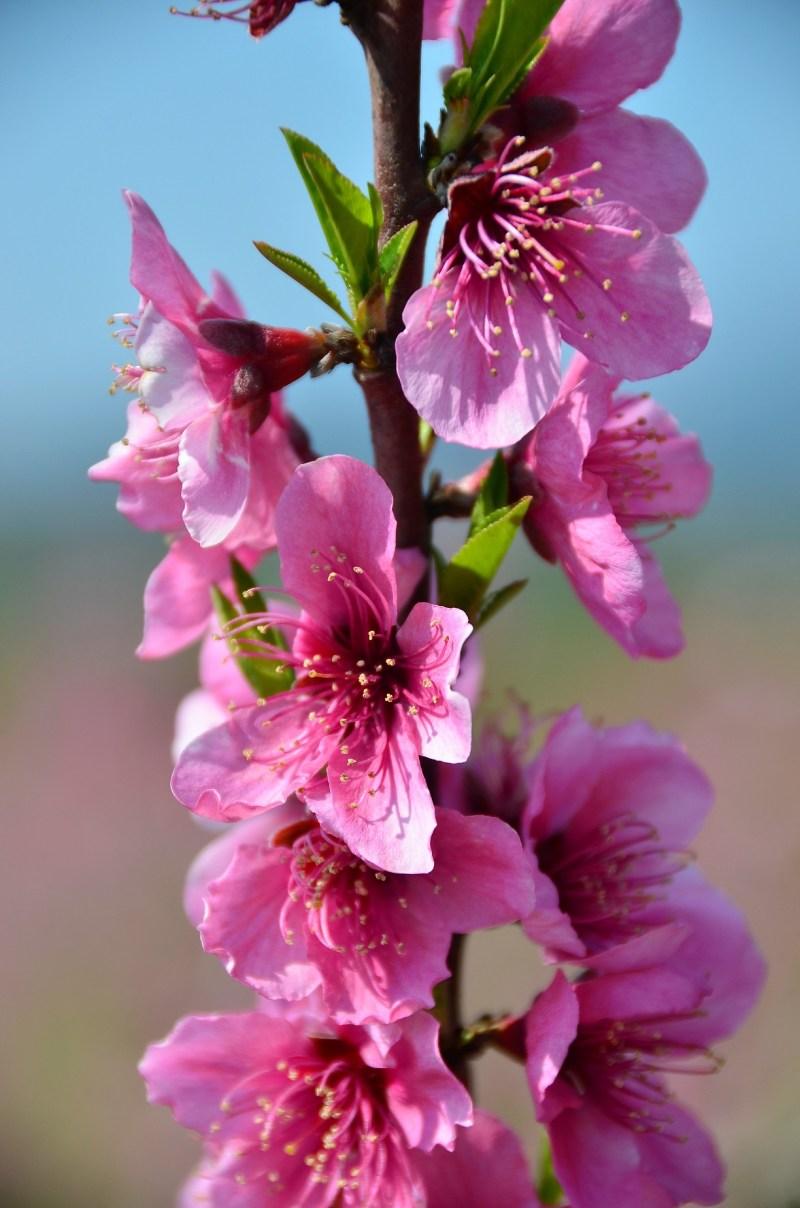 Pretty in Pink bloesemtocht in Benisanet BDT reistip
