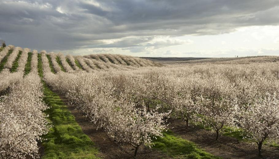 Field of rows almond trees.
