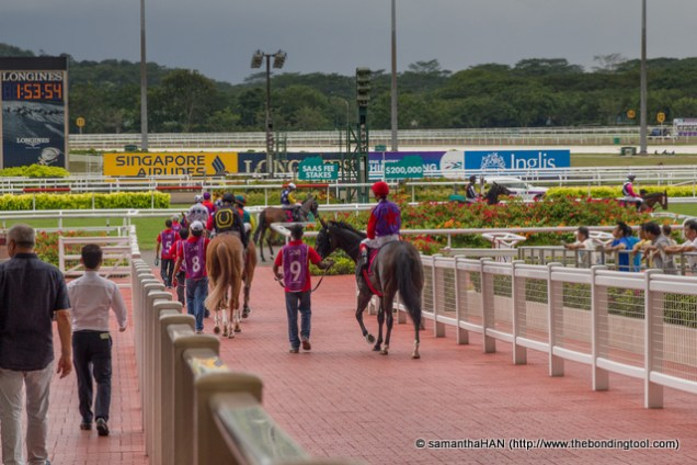 Horses going from the mounting enclosure to the tracks.