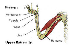 upper-limb parts- arm-forearm