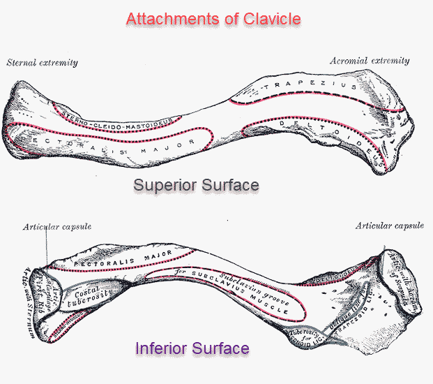 Clavicle or Collarbone - Aantomy and Attachments | Bone and Spine
