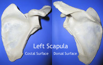 Anatomy of Scapula