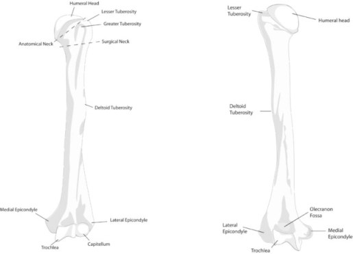 Humerus anterior and posterior view