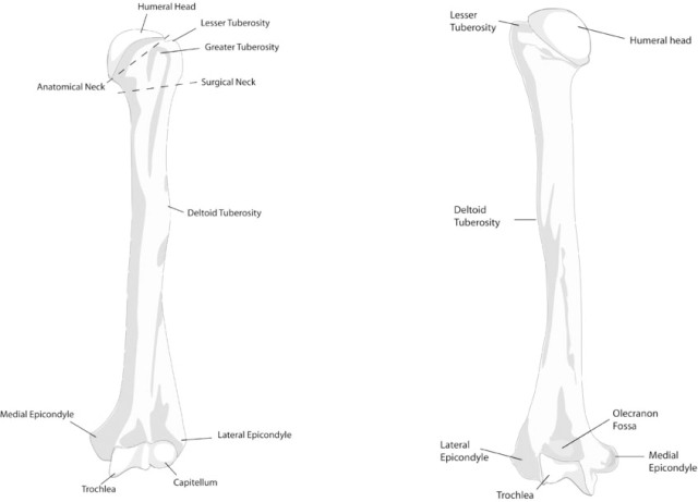 Humerus anterior and posterior view