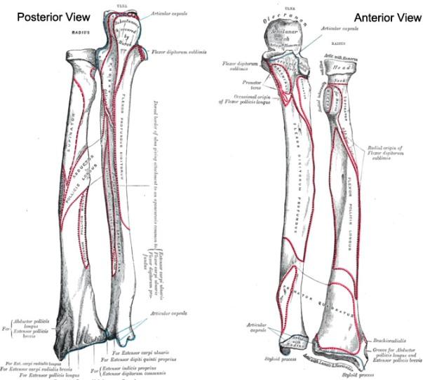 Radius Bone Anatomy Bone And Spine