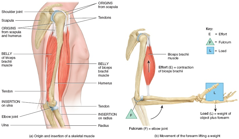 relationship between muscles bones and tendons